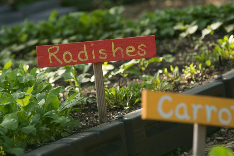 Radishes and Carrots growing in Foxhall Farm